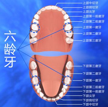 儿童牙齿名称结构图